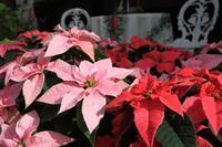 クリスマスの花といえばポインセチア - 神戸布引ハーブ園 ハーブガイド ハーブ花ごよみ