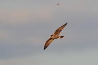 ハヤブサ夕日に染まった幼鳥 - 気まぐれ野鳥写真