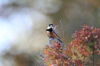 ヤマガラ楓の小枝に - 気まぐれ野鳥写真