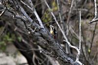 アカゲラさんエンゼルポーズ - 鳥と共に日々是好日