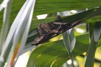 ムラサキツバメ越冬集団 12月9日 - 超蝶