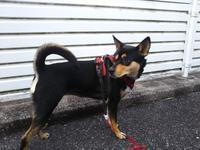 ほぼ1ヵ月ぶり・・・リオ(犬)と散歩 - 化学物質過敏症・風のたより2