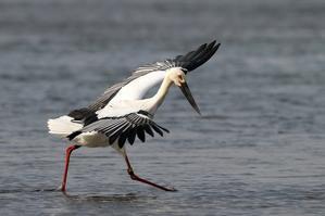 魚を追うコウノトリ - T/Hの野鳥写真-Ⅲ