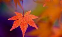 紅葉の色彩美 - 浜千鳥写真館