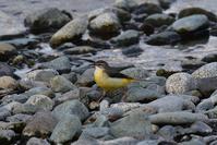 キセキレイ - ごっちの鳥日記