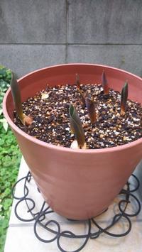 今年も冬咲きチューリップ育てています!! - ほっこりぐらし