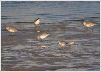 干潟を歩き回るハマシギとダイゼン - 野鳥の素顔 <野鳥と日々の出来事>