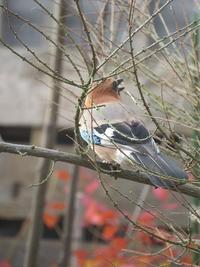庭の小鳥たち。12月初旬。 - あいやばばライフ