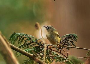 水元公園=キクイタダキ、メジロ、カンムリカイツブリ - 水元公園の野鳥達