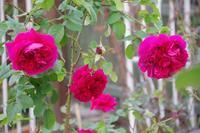 いつまで咲くのか小さなローズガーデンの薔薇 - 季節の風を追いかけて