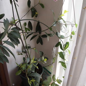 室内での冬越しポイント② - sola og planta ハーバリストの作業小屋