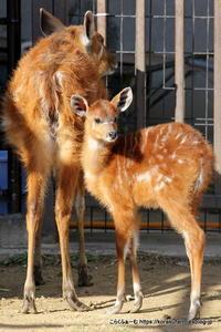 王子シタツンガ アスカさんの赤ちゃん(生後55日目)~まだまだ赤ちゃん - こらくふぁーむ