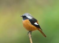 12月10日、今日は赤いのを撮りに行きましたが会えませんでした、地元の公園に戻るも3時のカワセミは遅刻でした。 - 鳥撮り日誌