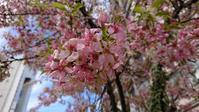 見頃終わりのヒマラヤ桜 - はりねずみの日記帳