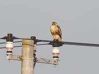 電柱にはノスリも - コーヒー党の野鳥と自然 パート2