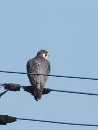 電線にはハヤブサも - コーヒー党の野鳥と自然 パート2