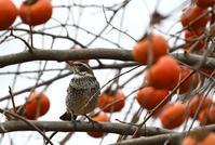 柿に集う鳥たちⅡツグミヒヨドリメジロ - 旅のかほり