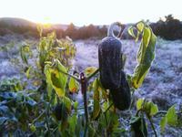 霜降りピーマン - 農と自然のさんぽみち・やまだ農園日記