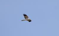 ハイイロチュウヒその8 - 私の鳥撮り散歩