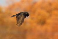 ハシブトガラス西日の狩場 - 気まぐれ野鳥写真