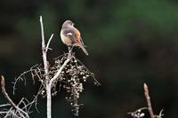 百舌鳥の餌を!・・・ジョウビタキさん - 鳥と共に日々是好日