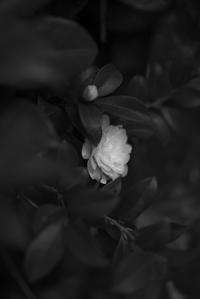 山茶花 -     ~風に乗って~    Present