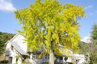 銀杏大樹 - いつかみたソラ