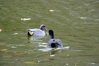 いつもの池で散策。カモたちとアオサギ - ぶらり散歩 ~四季折々フォト日記~