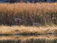多々良沼「鳥」ニュース(2018.12.11分)・・・マガン着水! - 『私のデジタル写真眼』