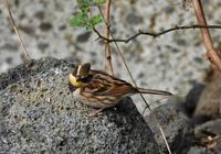 石の上にミヤマ - 可愛い野鳥たち 2