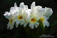 川口グリンセンタ-の温室に咲く蘭の花(^^♪ - 自然のキャンバス