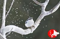 寒いなぁ~ゴジュウカラ - イチガンの花道
