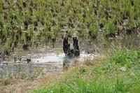 ■ありふれた鳥 3種18.12.12(カラス、カルガモ、アオサギ) - 舞岡公園の自然2