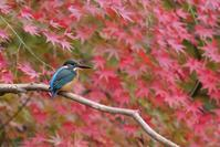 紅葉とカワセミ - * Toypoodle  x3 + Birds *