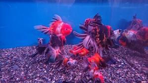 12月13日 新着情報のご案内です。 - フルタニ金魚倶楽部blog