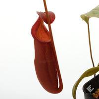 新掲載のネペンテスたちのご紹介 - ZERO PLANTS / BLOG