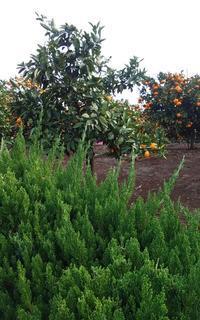 蜜柑畑 - ひだまり●●●陽のあたる場所みつけました