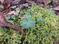 苔とヒメツルソバ - アオモジノキモチ