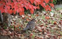 今日の鳥さん181201 - 万願寺通信