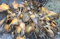 今日のコーディネートx冬枯れしたギボウシ - 風とアオダモ、モンステラ