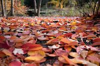 落ち葉 - ダルマンニャーの散歩道・・・
