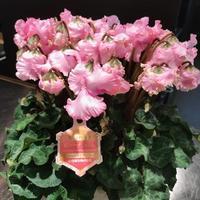 シクラメンが多数入荷しております。 - 香川県高松市の花屋さん「ぐれいと」