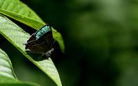 平成30年ファイナル - 紀州里山の蝶たち