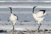 雪原のタンチョウ - 今日の鳥さんⅡ