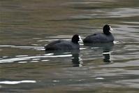 ダム湖の笑う?オオバンさん - 鳥と共に日々是好日
