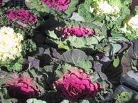 葉牡丹 - ~葡萄と田舎時間~ 西田葡萄園のブログ