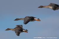 北国のオオヒシクイ達 - 気ままに野鳥観察