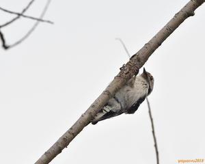 陰に隠れた・・・コアカゲラ - 野鳥のさえずり、山犬のぼやき