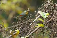 ハゼの実を食べるソウシチョウ - 近隣の野鳥を探して