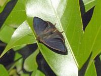 ムラサキツバメ師走寒波に耐えて - 蝶のいる風景blog